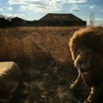 hire the lion fro mthe grand tour lion in the grand tour animatronic lion unique event hire hire a gorilla for tv film events