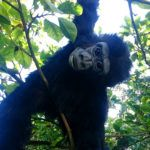 unique event hire hire a gorilla for tv film events monkey party monkey rain forest pr stunt