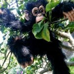 hire a chimp hire a gorilla hire animals for events unique event hire hire a gorilla for tv film events