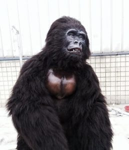 hire a gorilla hire animals for events tv film hire an ape realistic animatronic gorilla unique event hire hire a gorilla for tv film events