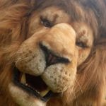 hire a lion the grand tour top gear realisitic animals for film how to hire a lion unique event entertainment awesome entertainment hire a dinosaur hire a gorilla hire a lion hire animals event hire hire the transformers hire a dragon predatro dark ages hire the predator creature performers